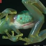 Las ranas de cristal