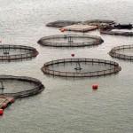 Acuicultura XIII: cultivo de salmón (I)