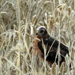 El aguilucho cenizo en Andalucía (I)