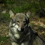 Batidas de lobo en el Barbanza, en el monte Enxa