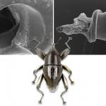 El escarabajo de las patas atornilladas