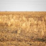El aguilucho cenizo (II): la colonia de Rota