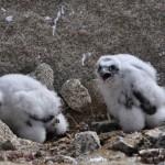 Alimañeros en el Barbanza, robo de huevos de aves rapaces I (Halcón Peregrino).