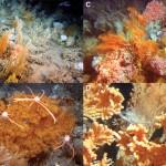 Los corales de aguas profundas