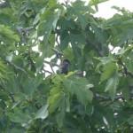 Escuadrones negros… Los estorninos