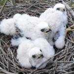 Alimañeros en el Barbanza, robo de huevos de aves rapaces III (Gavilán)