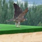 Reintroducción del halcón peregrino en la ciudad de Granada (II)