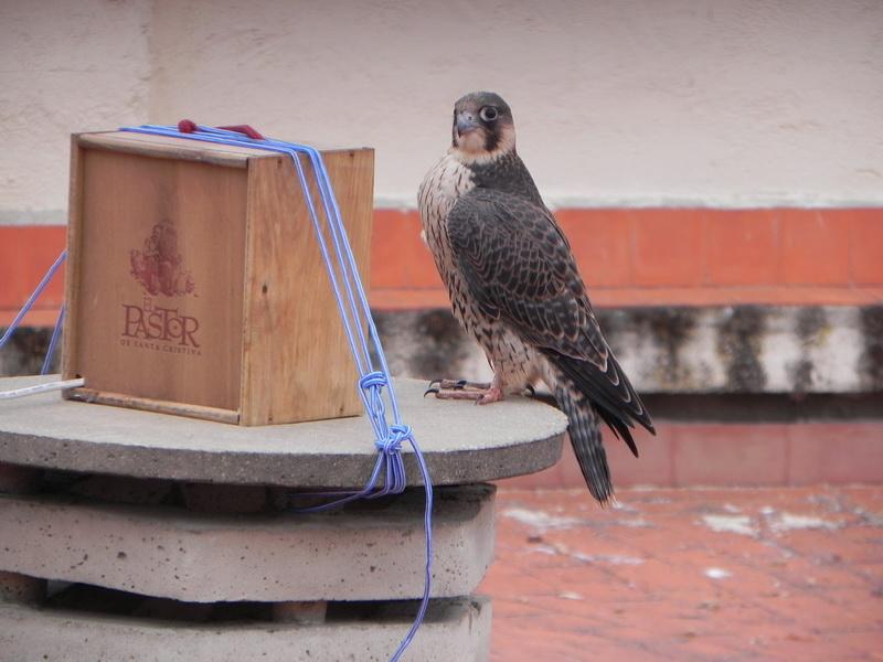 Muy curiosos, los jóvenes halcones investigan el entorno. En la foto, Genil observa la caja donde se aloja la web cam