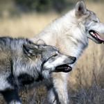 La situación del lobo en Suiza