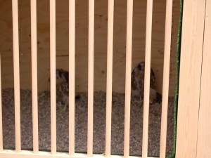 Los halcones recién colocados en la caja-nido