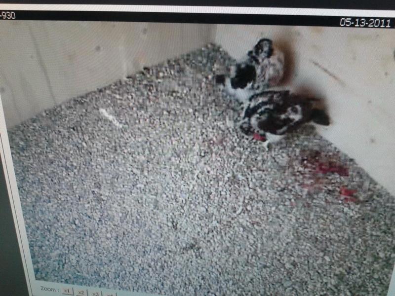 Los jóvenes halcones a través de la web cam
