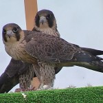 Reintroducción del halcón peregrino en la ciudad de Granada (I)