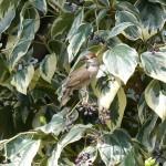 EL ruiseñor comun (Luscinia megarhynchos)