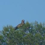 Águila calzada y águila culebrera en vuelo