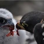 """Charla """"Alimañeros: el robo de halcones en el Barbanza"""""""