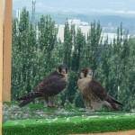 Reintroducción del halcón peregrino en la ciudad de Granada (III)