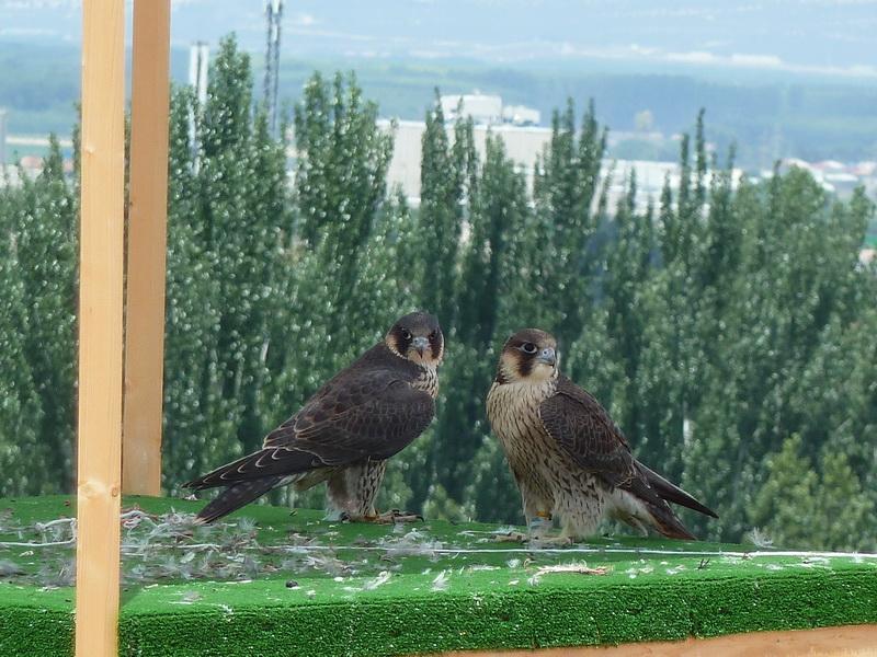Tras ser liberados, Darro y Genil pasaban muchas horas juntos sobre la caja-nido