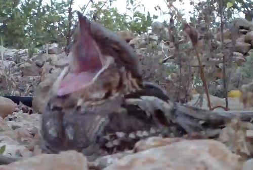 Boca enorme del chotacabras, tras un bostezo