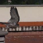 Reintroducción del halcón peregrino en la ciudad de Granada (VI)