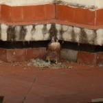 Reintroducción del halcón peregrino en la ciudad de Granada (IV)