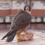 Reintroducción del halcón peregrino en la ciudad de Granada (VIII)