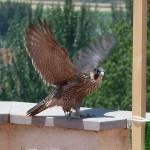 Reintroducción del halcón peregrino en la ciudad de Granada (VII)