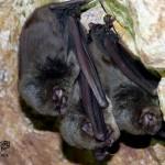 Murciélago de cueva (Miniopterus schreibersii)