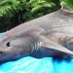 La visera, un tiburón de profundidades