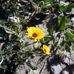 calendula arvensis