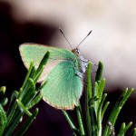Callophrys rubi, una mariposa de la familia de los licenidos posada en un tomillo