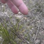 El insecto palo en Sa Pedrera (Palma de Mallorca)