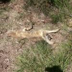 Asesinos de lobos en el Barbanza (3): la raza del perro
