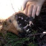 Asesinos de lobos en el Barbanza (2): los lubicanes