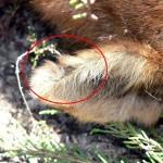 Asesinos de lobos en el Barbanza (IV): orejas marcadas