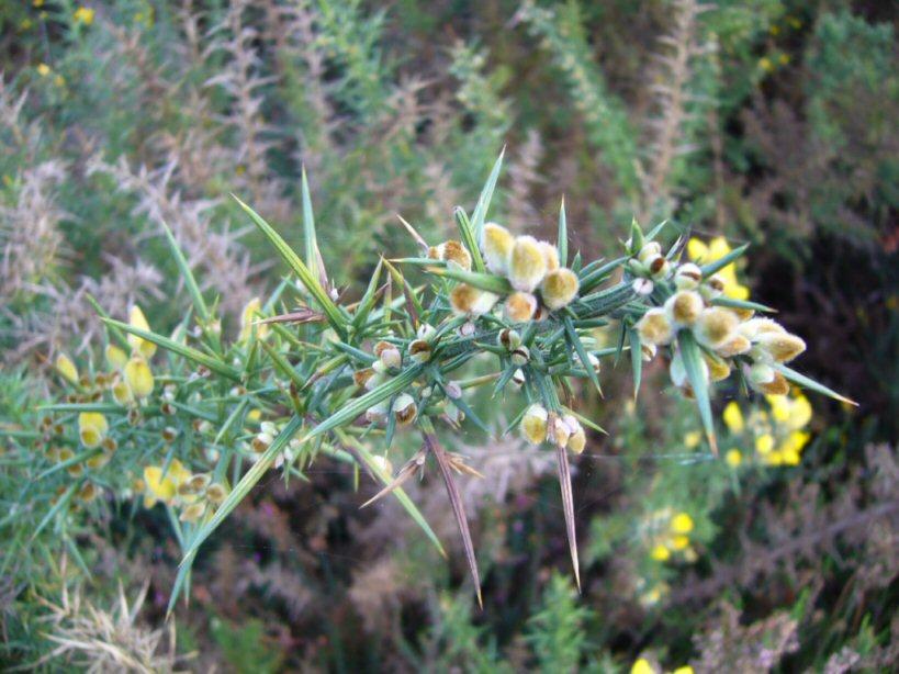 la flor del toxo ulex europaeus