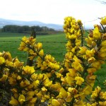 La Flor del Toxo (Ulex Europaeus)
