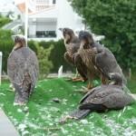 Ojo de halcón: 2º año del proyecto de reintroducción del halcón peregrino en Granada