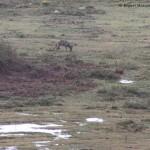 Asesinos de Lobos en el Barbanza (XI): la legislación europea básica
