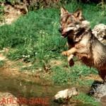 Asesinos de Lobos en el Barbanza (XVII): ASCEL se persona como acusación popular