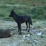 Asesinos de lobos en el Barbanza (XII): la loba negra y la familia
