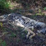 Asesinos de Lobos en el Barbanza (VIII): el cuarto cánido muerto con marca en la oreja