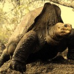 """Muere el """"Solitario George"""", una especie que se suma a la lista de la extinción"""
