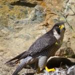 Las aves rapaces en el Barbanza están condenadas (II)