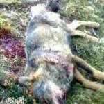 Asesinos de lobos en el Barbanza (XXII): el plan de acción europeo (II)