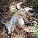 Asesinos de Lobos en el Barbanza (XXIV): ahora también los zorros