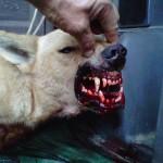Asesinos de lobos en el Barbanza (XXVI): más orejas marcadas