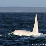 Iceberg, la orca albina