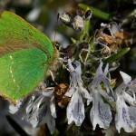 Criaturas Aladas VII: Callophrys rubi