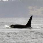Orcas en Vancouver por Ecología Azul