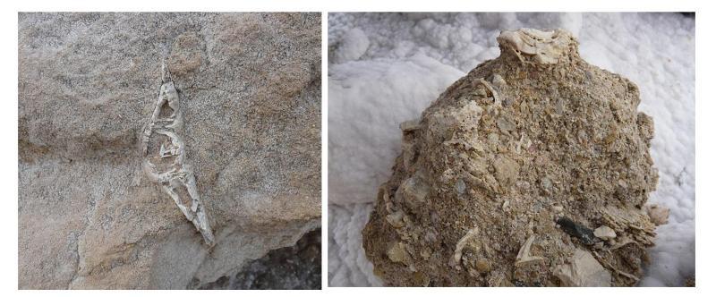 En algunos bloques rocosos desprendidos sobre el cauce, se observan restos fósiles de equinodermos, ostreidos y gasterópodos.
